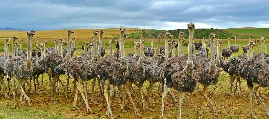 ostriches-838976_1920
